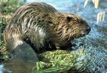 U řeky Moravy uhynul bobr